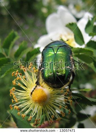 Green Shiny Bug On A Rose Flower Stock Photo 13057471 : Shutterstock.