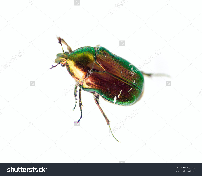 Golden Beetle Edgar Allan Poe Rose Stock Photo 458533135.