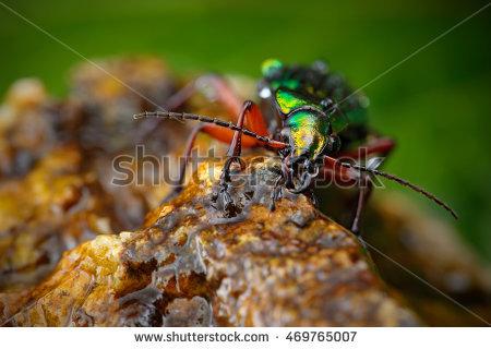 Ground Beetle Stock Photos, Royalty.