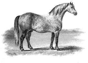English Cart Horse.