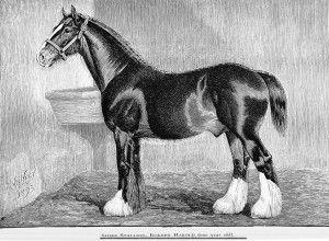 Shire Draft Horse Equine.