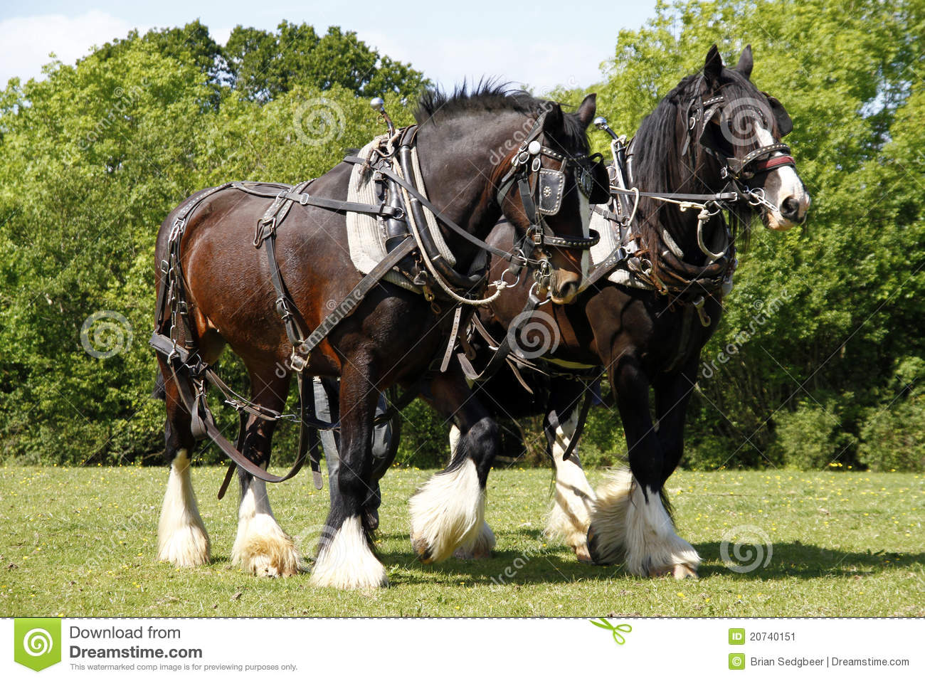 Pair Of Shire Horses Working Stock Image.