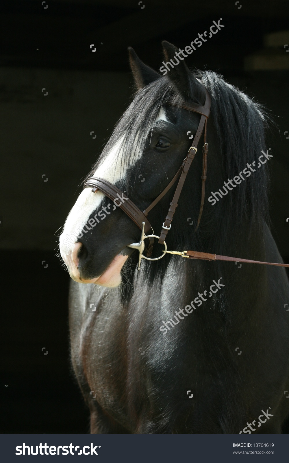 Shire Horse With Black Background Stock Photo 13704619 : Shutterstock.