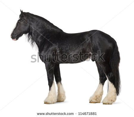 Shire Horse Stock Images, Royalty.