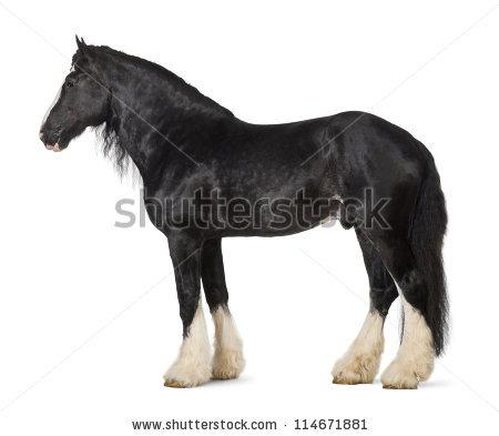 Shire Horse Isolated Stock Photos, Royalty.