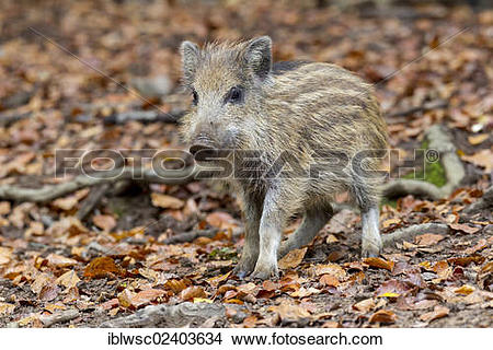 "Stock Photo of ""Wild boar (Sus scrofa), shoat, Wildpark Daun game."