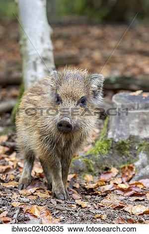 "Stock Image of ""Wild boar (Sus scrofa), shoat, Wildpark Daun game."