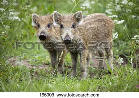 Pictures of Wild boar.