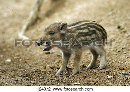 Stock Photo of wild boar : shoat.