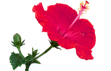 Free Hibiscus Flower Clipart, Download Free Clip Art, Free.