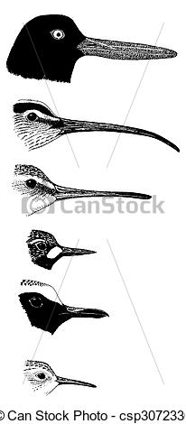 Stock Illustration of Shorebird bills 6 species csp3072330.
