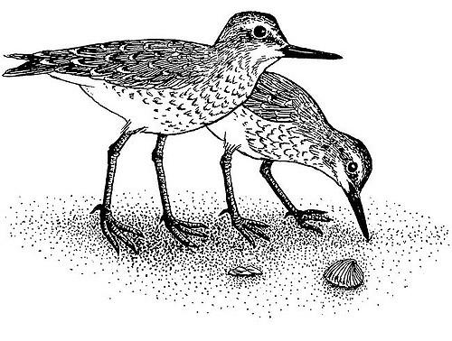 clipart shore bird lrg.