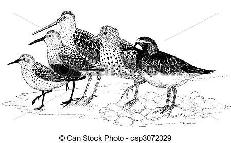 Stock Illustration of Shorebirds of Homer.