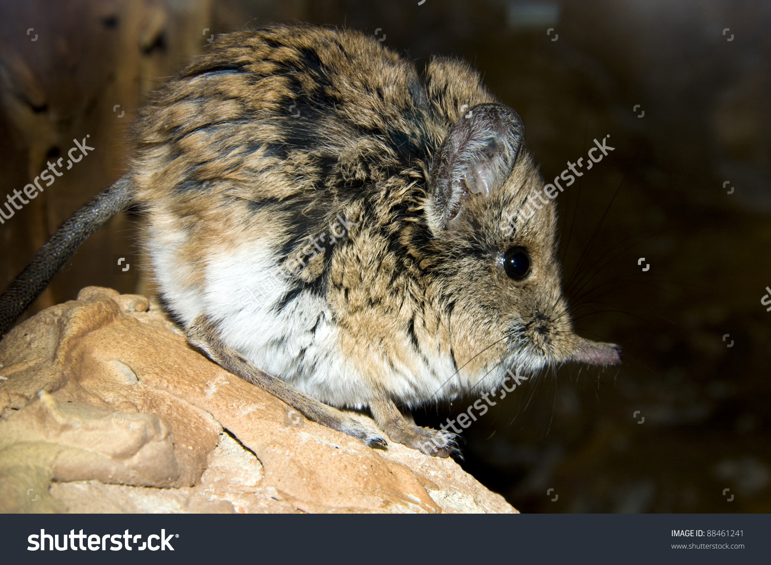 Shorteared Elephant Shrew Macroscelides Proboscideus Stock Photo.