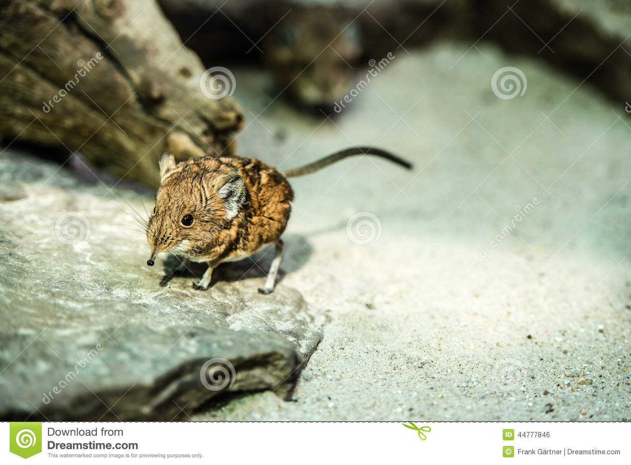 Short Eared Elephant Shrew Stock Photos, Images, & Pictures.