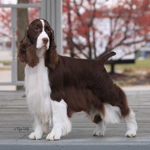 1000+ images about grooming Cocker on Pinterest.