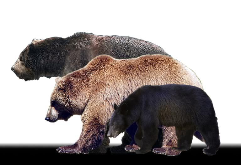 Black bear kodiak and short faced bear comparison.jpg Photo: The.