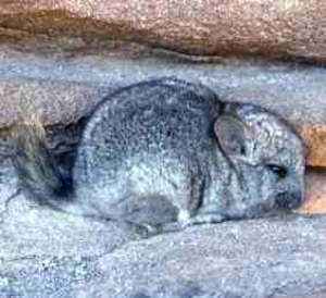 1000+ images about Chinchilla Care on Pinterest.