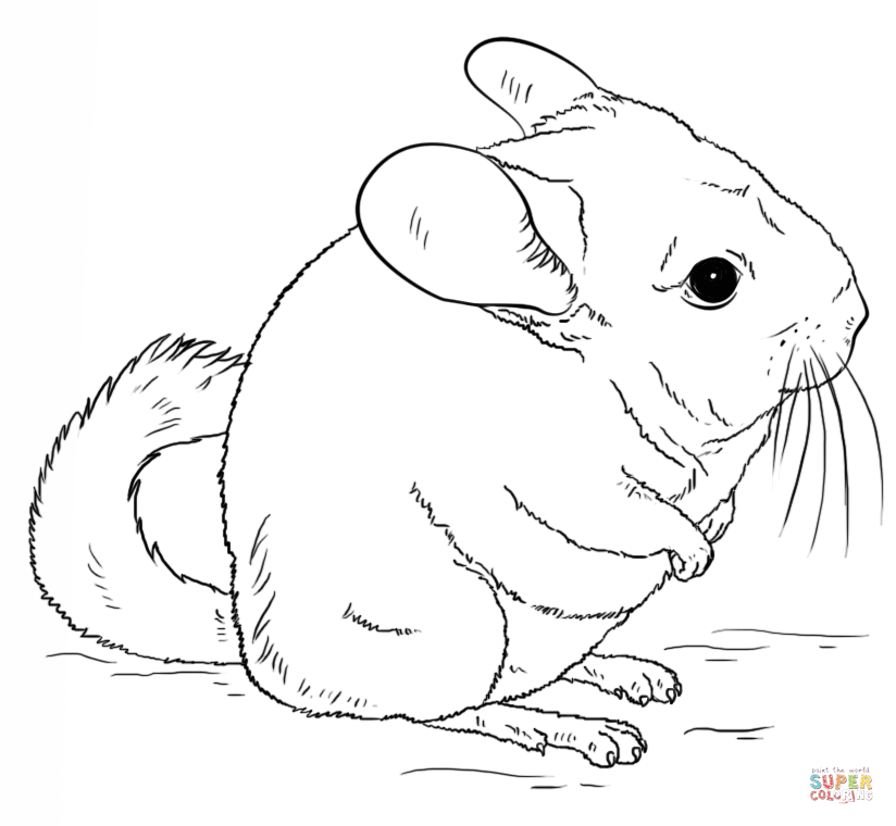 chinchilla coloring pages to print short tailed chinchilla clipart clipground