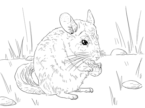 Long Tailed Chinchilla coloring page.
