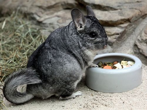 1000+ images about chinchillas on Pinterest.