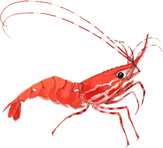 Shrimp Clipart transparent PNG.