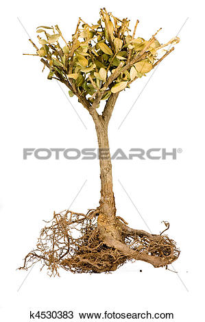 Stock Photo of shriveled bonsai tree k4530383.
