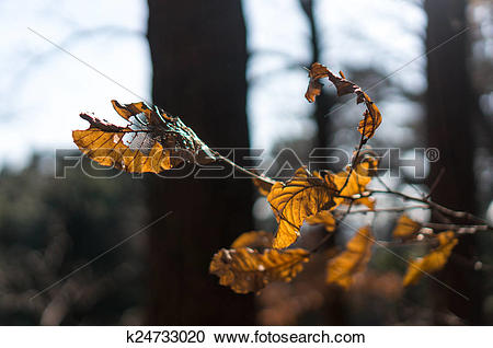 Stock Photography of Shriveled leaf k24733020.