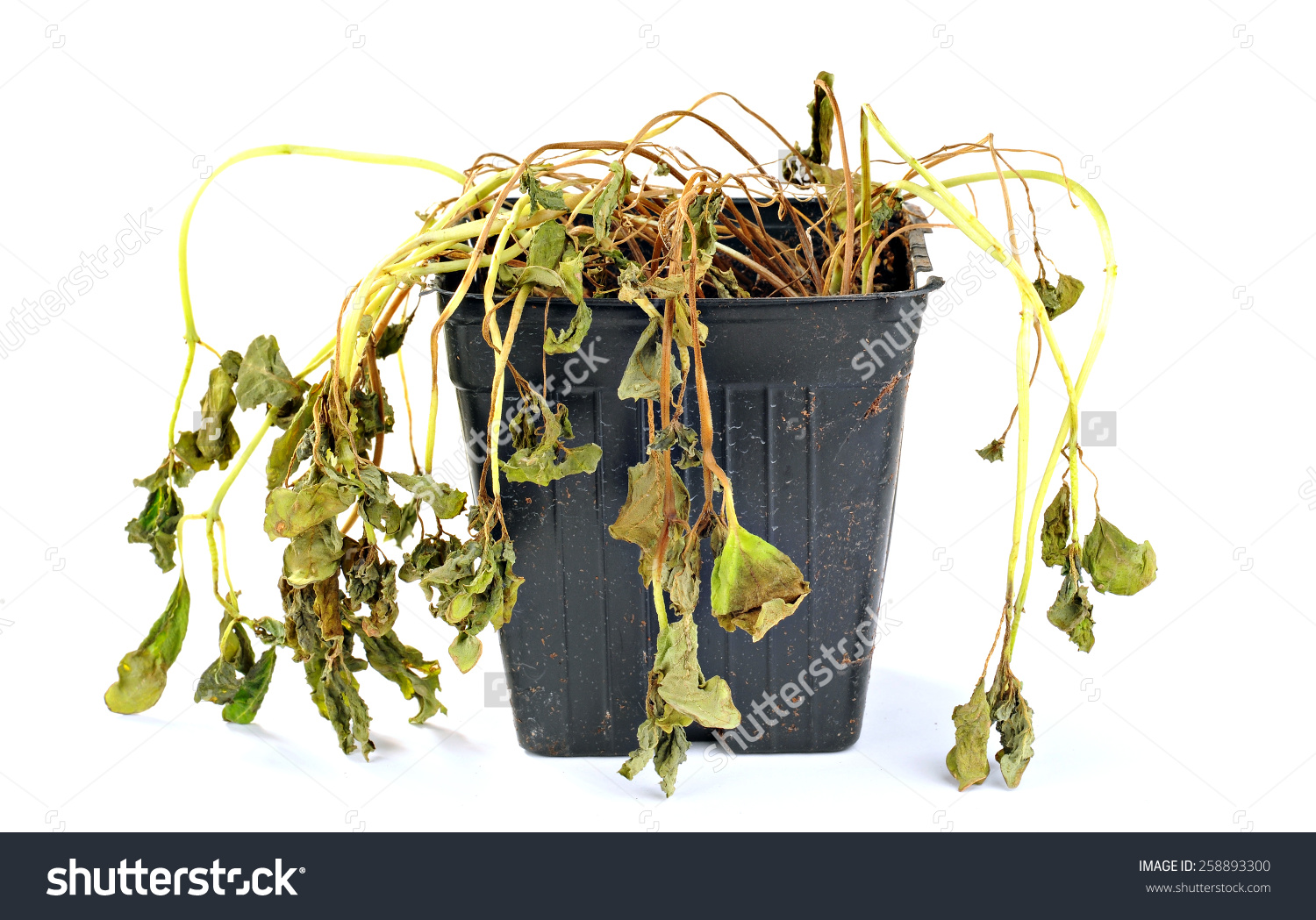 Dead Shriveled Plant Plastic Pot White Stock Photo 258893300.