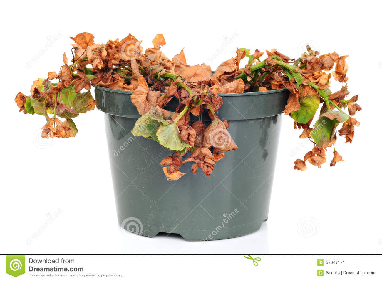 Dead And Shriveled Plant, In A Plastic Pot Stock Photo.
