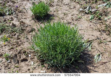 Helichrysum Italicum Stock Photos, Royalty.