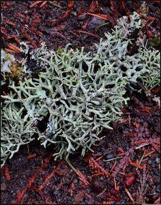 Funaria hygrometrica.