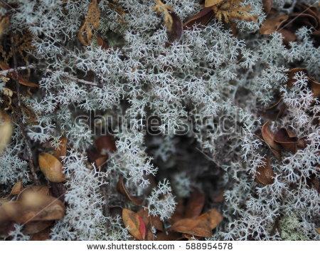 """""""fruticose Lichen"""" Stock Photos, Royalty."""