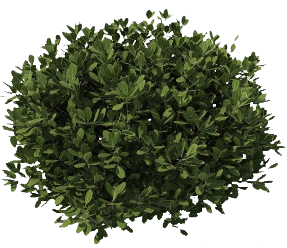 OLIVE SHRUB Collection of free Bush drawing shrubbery.