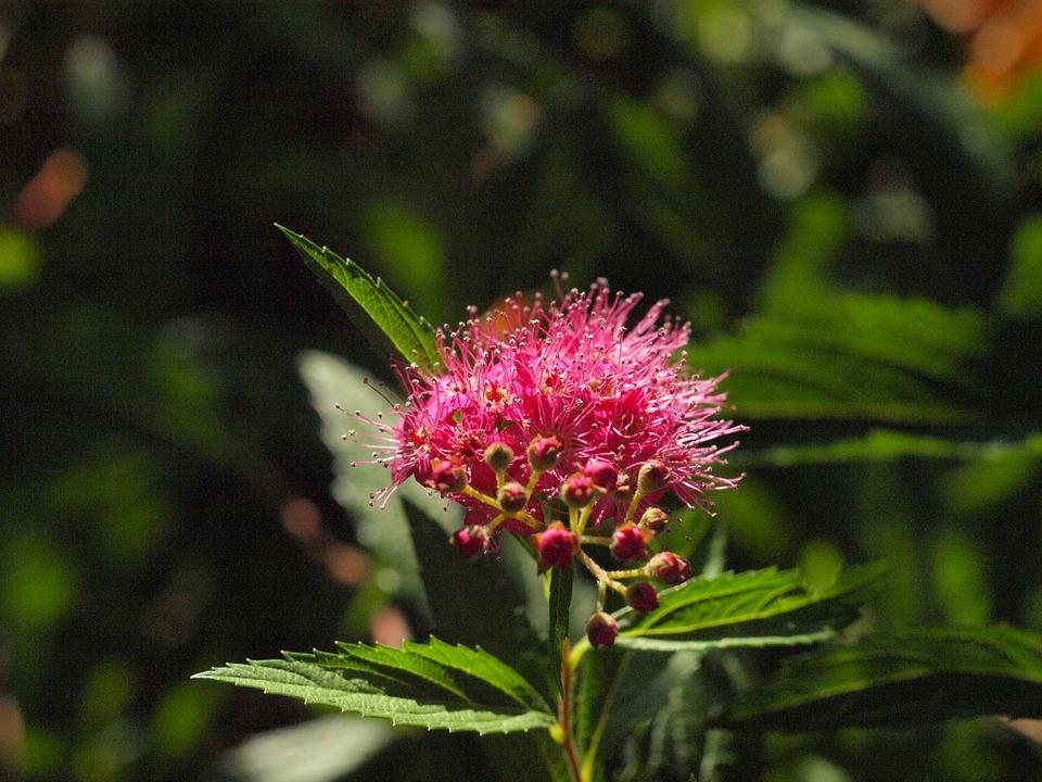 Free photo Spiere Blossom Ornamental Shrub Bush Bloom Pink.