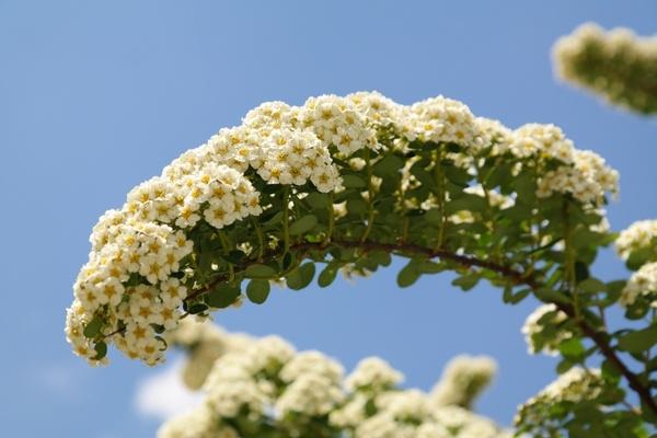 Bride spiere flowers white Free stock photos in JPEG (.jpg.