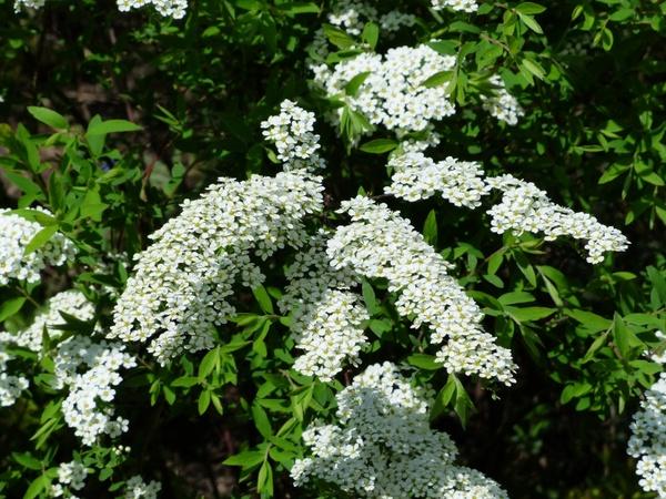 Bride spiere bush ornamental shrub Free stock photos in JPEG (.jpg.