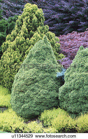 Stock Photograph of Conical conifer trees underplanted with low.