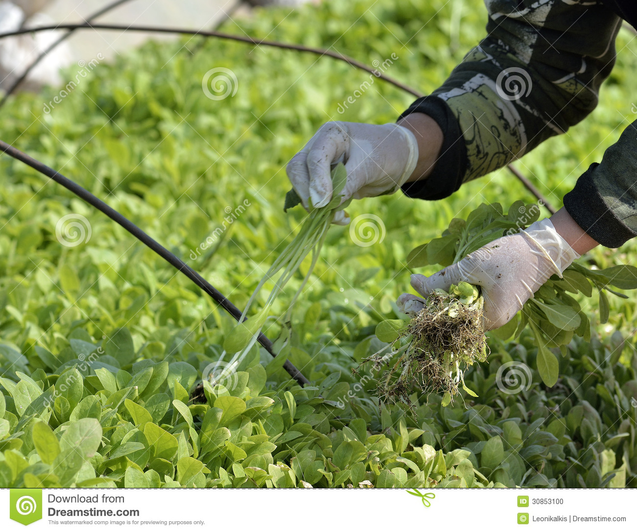 Cultivation Stock Photo.