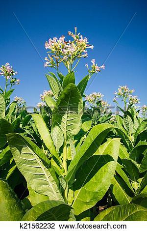 Stock Photo of Tobacco plantation k21562232.