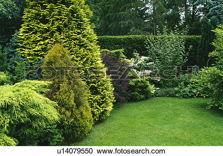 Stock Photography of Variety of conifers in shrub border in.