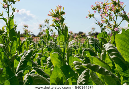 Tobacco Flower Stock Photos, Royalty.