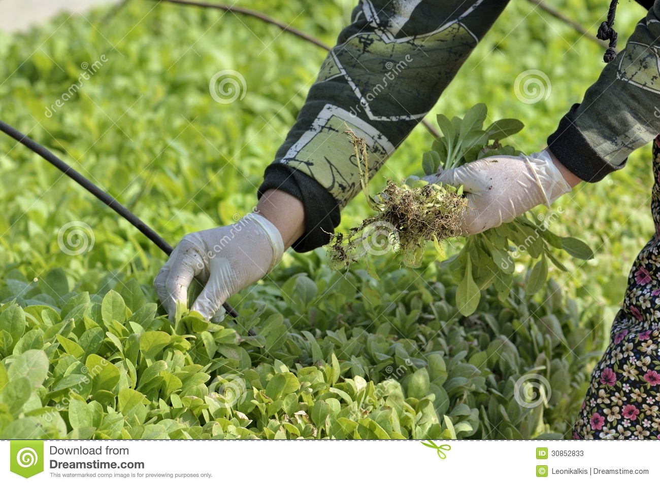 Cultivation Stock Photos.