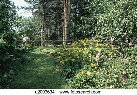 "Stock Photography of Yellow Azalea ""Luteum 'Mollis"" in shrub."