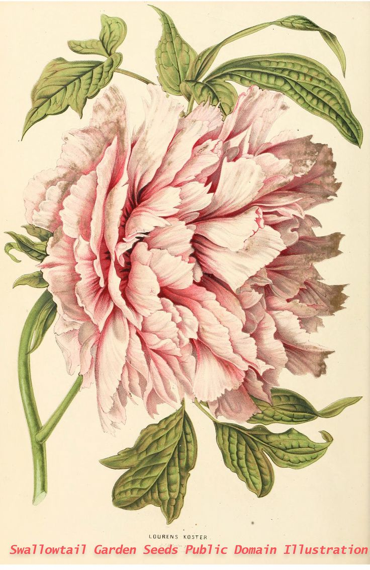 1000+ images about Botanical: Paeonia on Pinterest.
