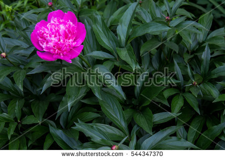 Herbaceous Peony Stock Photos, Royalty.