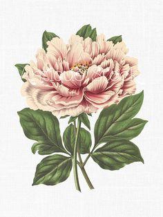 Paeonia moutan. Flore des serres et des jardins de l'Europe v.7.