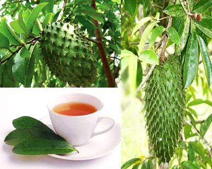Soursop (Shul Ram Fal), kills Cancer effectively than Chemotherapy.