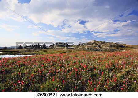 Stock Photography of Wildflower alpine meadows in Pukeashun.