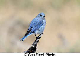Picture of Mountain bluebird, Sialia currucoides, New Mexico, USA.